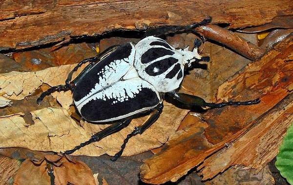 Жук-голиаф-насекомое-Описание-особенности-виды-образ-жизни-и-среда-обитания-голиафа-6