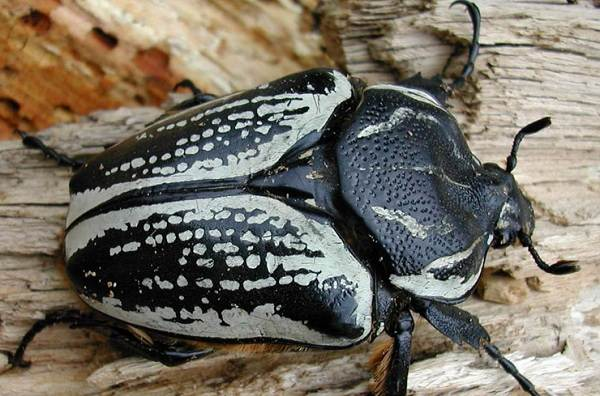 Жук-голиаф-насекомое-Описание-особенности-виды-образ-жизни-и-среда-обитания-голиафа-7