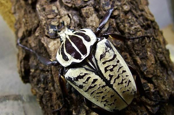 Жук-голиаф-насекомое-Описание-особенности-виды-образ-жизни-и-среда-обитания-голиафа-8