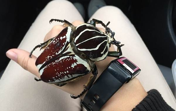 Жук-голиаф-насекомое-Описание-особенности-виды-образ-жизни-и-среда-обитания-голиафа-9