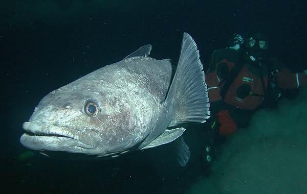 Клыкач-рыба-Описание-особенности-виды-образ-жизни-и-ловля-клыкача-1