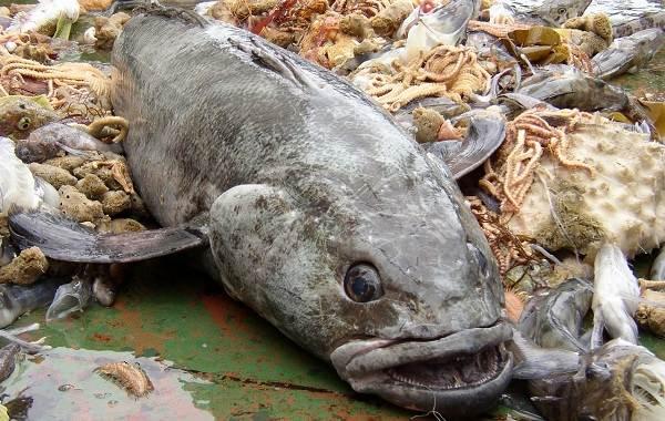 Клыкач-рыба-Описание-особенности-виды-образ-жизни-и-ловля-клыкача-3