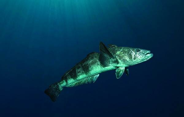 Клыкач-рыба-Описание-особенности-виды-образ-жизни-и-ловля-клыкача-5
