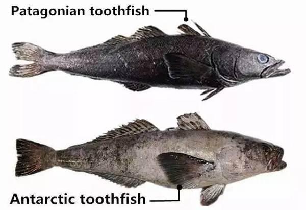 Клыкач-рыба-Описание-особенности-виды-образ-жизни-и-ловля-клыкача-6