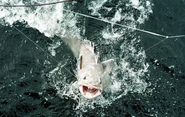 Клыкач-рыба-Описание-особенности-виды-образ-жизни-и-ловля-клыкача-7