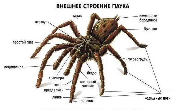 Виды-пауков-Описание-названия-фото-особенности-строения-и-поведения-видов-пауков-1