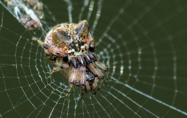 Виды-пауков-Описание-названия-фото-особенности-строения-и-поведения-видов-пауков-12