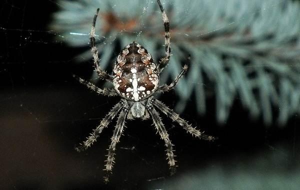 Виды-пауков-Описание-названия-фото-особенности-строения-и-поведения-видов-пауков-23