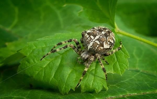 Виды-пауков-Описание-названия-фото-особенности-строения-и-поведения-видов-пауков-24