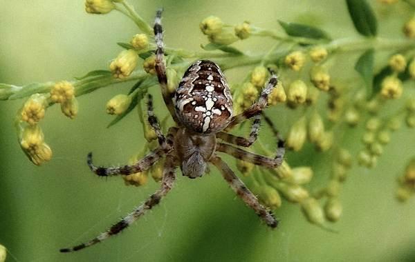 Виды-пауков-Описание-названия-фото-особенности-строения-и-поведения-видов-пауков-25