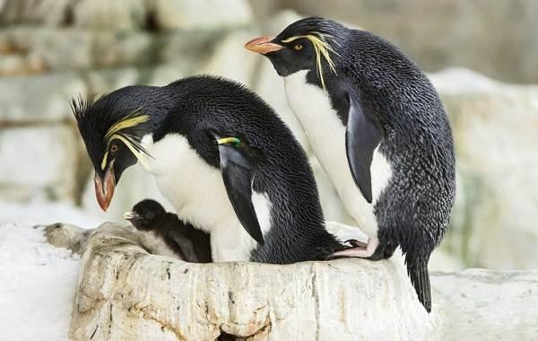 Виды-пингвинов-Описание-названия-особенности-фото-и-образ-жизни-видов-пингвинов-17