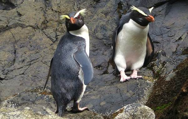 Виды-пингвинов-Описание-названия-особенности-фото-и-образ-жизни-видов-пингвинов-18