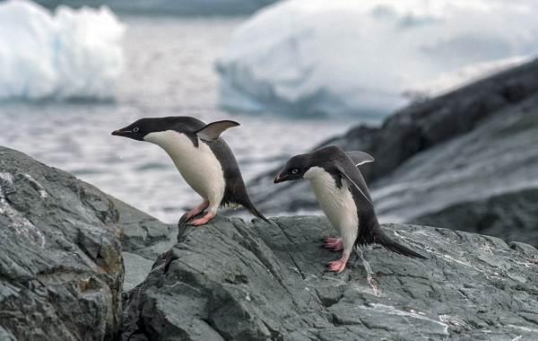 Виды-пингвинов-Описание-названия-особенности-фото-и-образ-жизни-видов-пингвинов-20
