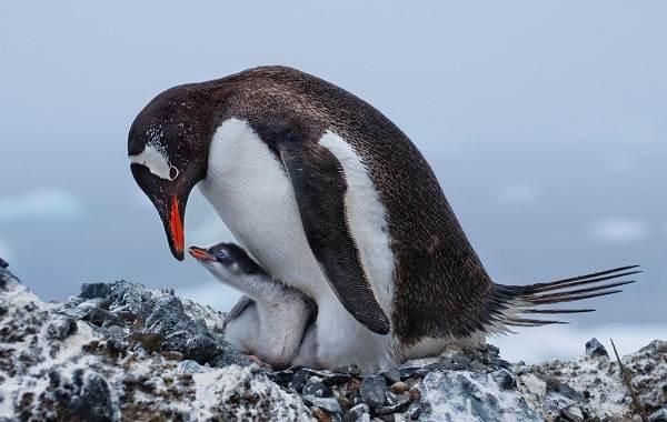 Виды-пингвинов-Описание-названия-особенности-фото-и-образ-жизни-видов-пингвинов-21