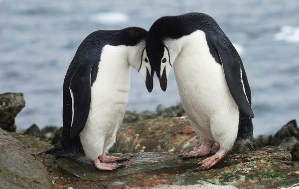 Виды-пингвинов-Описание-названия-особенности-фото-и-образ-жизни-видов-пингвинов-23