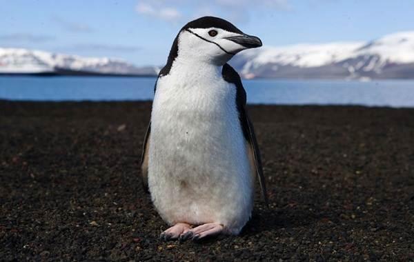Виды-пингвинов-Описание-названия-особенности-фото-и-образ-жизни-видов-пингвинов-24