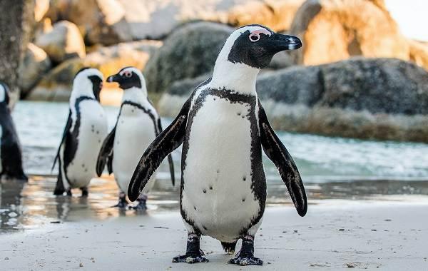 Виды-пингвинов-Описание-названия-особенности-фото-и-образ-жизни-видов-пингвинов-25