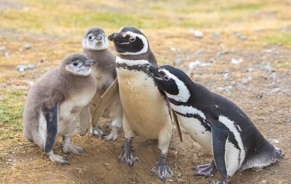 Виды-пингвинов-Описание-названия-особенности-фото-и-образ-жизни-видов-пингвинов-28