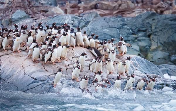 Виды-пингвинов-Описание-названия-особенности-фото-и-образ-жизни-видов-пингвинов-3