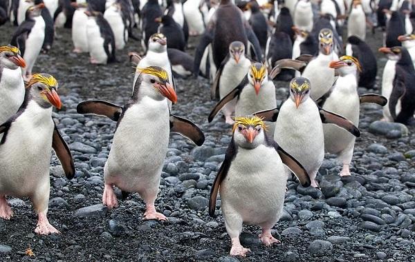 Виды-пингвинов-Описание-названия-особенности-фото-и-образ-жизни-видов-пингвинов-32