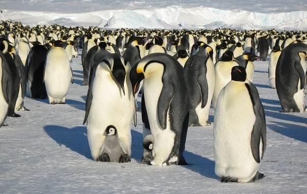 Виды-пингвинов-Описание-названия-особенности-фото-и-образ-жизни-видов-пингвинов-4