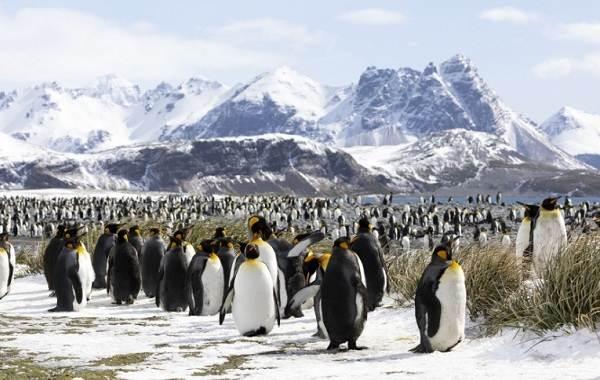 Виды-пингвинов-Описание-названия-особенности-фото-и-образ-жизни-видов-пингвинов-6