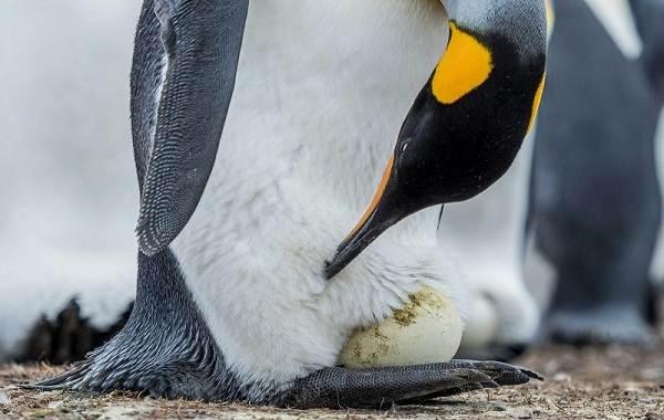 Виды-пингвинов-Описание-названия-особенности-фото-и-образ-жизни-видов-пингвинов-7