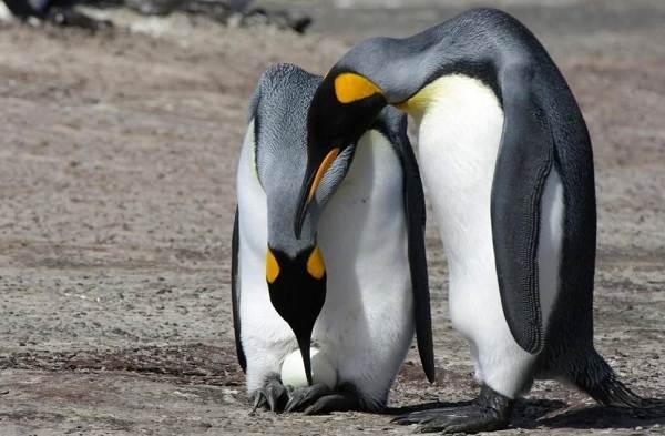 Виды-пингвинов-Описание-названия-особенности-фото-и-образ-жизни-видов-пингвинов-8