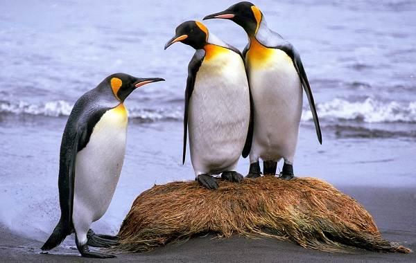 Виды-пингвинов-Описание-названия-особенности-фото-и-образ-жизни-видов-пингвинов-9