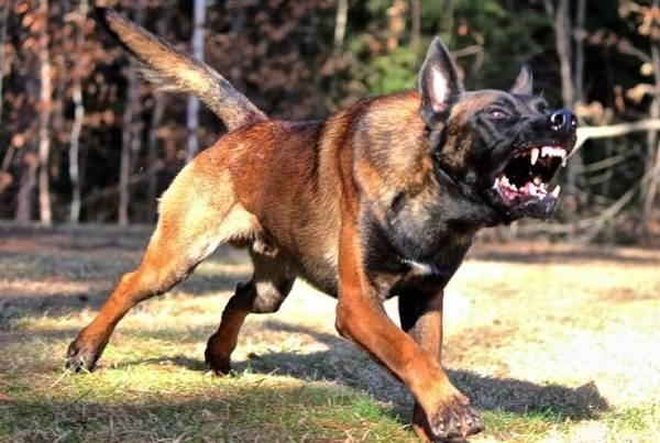 Агрессивные-породы-собак-Описание-названия-и-фото-самых-агрессивных-собак-1