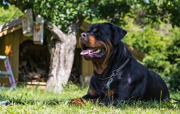 Агрессивные-породы-собак-Описание-названия-и-фото-самых-агрессивных-собак-11