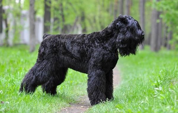 Агрессивные-породы-собак-Описание-названия-и-фото-самых-агрессивных-собак-12