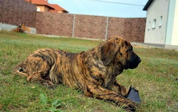 Агрессивные-породы-собак-Описание-названия-и-фото-самых-агрессивных-собак-14