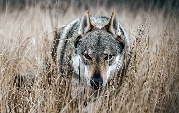 Агрессивные-породы-собак-Описание-названия-и-фото-самых-агрессивных-собак-15