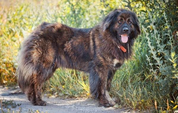 Агрессивные-породы-собак-Описание-названия-и-фото-самых-агрессивных-собак-19