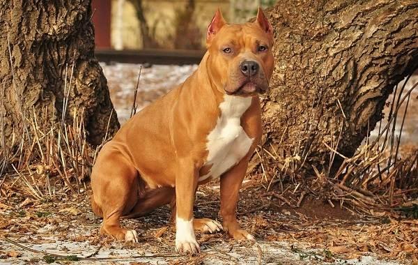 Агрессивные-породы-собак-Описание-названия-и-фото-самых-агрессивных-собак-2