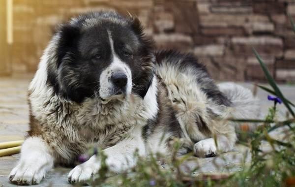 Агрессивные-породы-собак-Описание-названия-и-фото-самых-агрессивных-собак-20