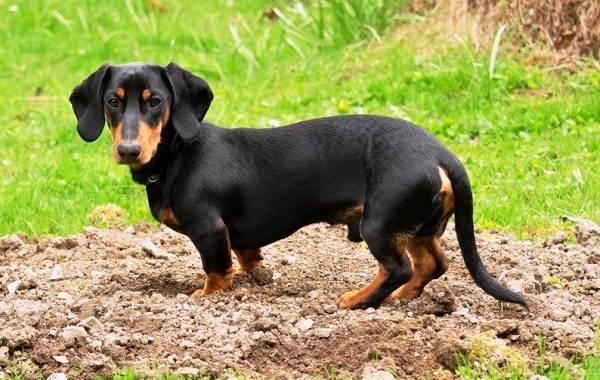 Агрессивные-породы-собак-Описание-названия-и-фото-самых-агрессивных-собак-22