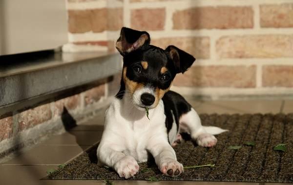 Агрессивные-породы-собак-Описание-названия-и-фото-самых-агрессивных-собак-23