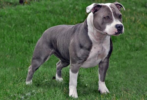Агрессивные-породы-собак-Описание-названия-и-фото-самых-агрессивных-собак-3