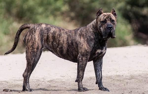 Агрессивные-породы-собак-Описание-названия-и-фото-самых-агрессивных-собак-33