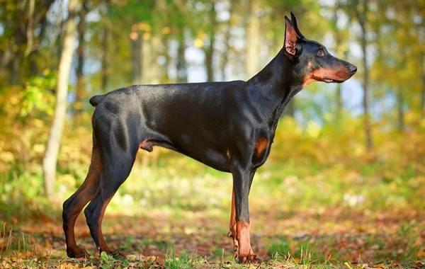 Агрессивные-породы-собак-Описание-названия-и-фото-самых-агрессивных-собак-7