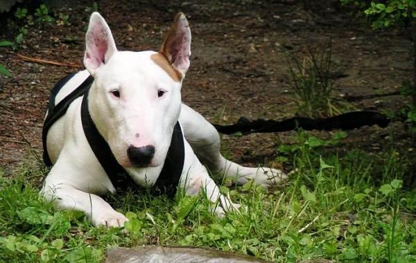 Агрессивные-породы-собак-Описание-названия-и-фото-самых-агрессивных-собак-9