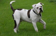 Алапахский бульдог собака. Описание, особенности, виды, характер, уход и цена породы