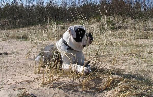 Алапахский-бульдог-собака-Описание-особенности-виды-характер-уход-и-цена-породы-12