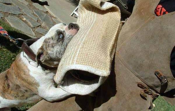 Алапахский-бульдог-собака-Описание-особенности-виды-характер-уход-и-цена-породы-9