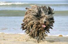Бергамская овчарка собака. Описание, особенности, виды, уход и цена породы
