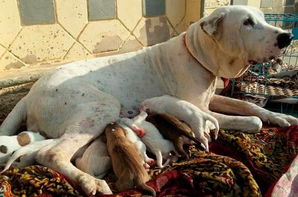 Булли-кутта-собака-Описание-особенности-характер-уход-и-цена-породы-булли-кутта-4