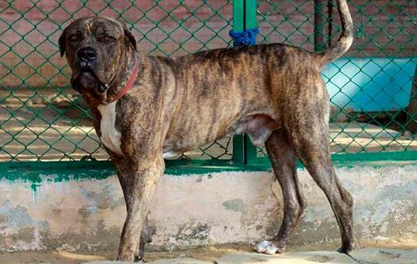Булли-кутта-собака-Описание-особенности-характер-уход-и-цена-породы-булли-кутта-5