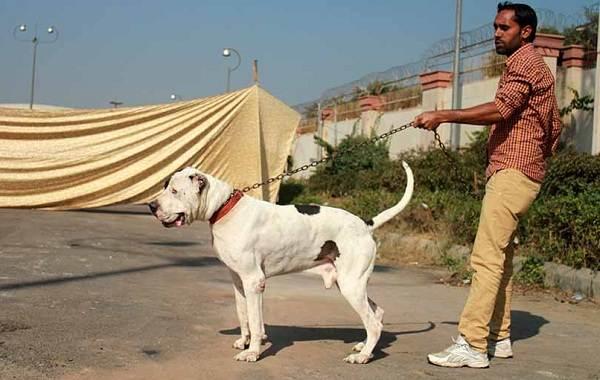 Булли-кутта-собака-Описание-особенности-характер-уход-и-цена-породы-булли-кутта-7